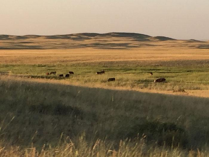 Cows, horses, goats, and sheep grazing on the Semipalatinsk pastures. Photo copyright Magdalena Stawkowski.