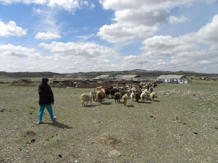 Livestock returning from the Semipalatinsk pastures to Koyan. Photo copyright Magdalena Stawkowski.