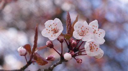640px-Cherry_blossoms_.jpg