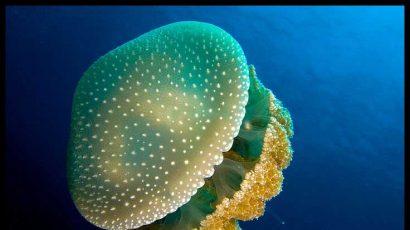 JellyfishTextsize.jpg