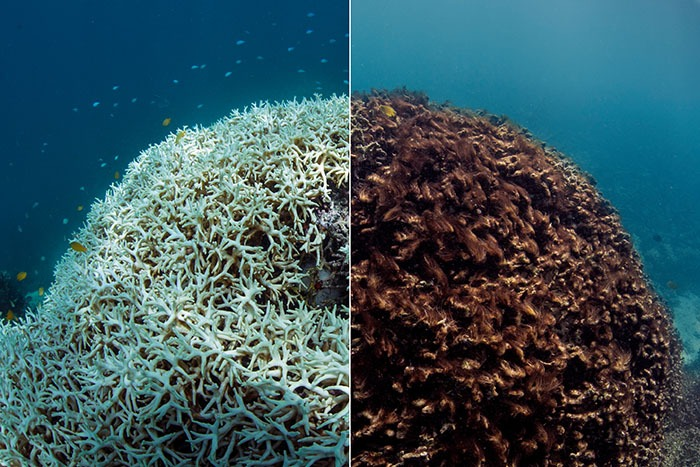 A Changing Climate For Coral Reefs Bulletin Of The Atomic