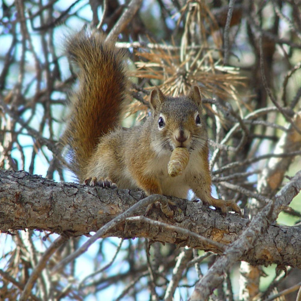 A North American red squirrel.