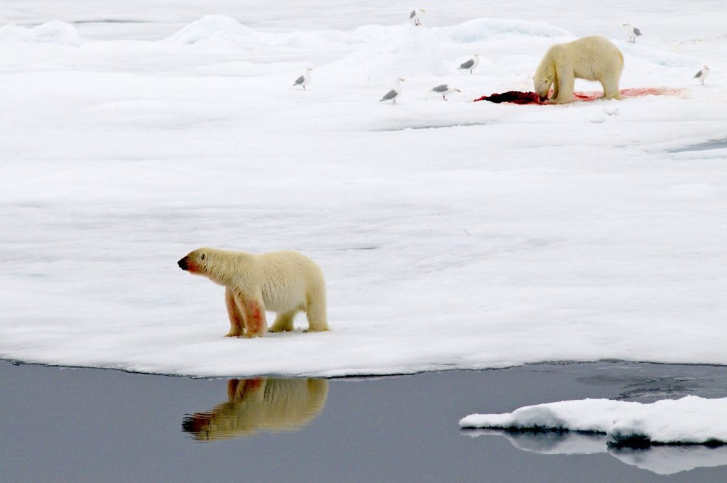 Polar bears hunt for food, mostly seals, from sea ice. Credit: Peter Prokosch/www.grida.no/resources/1975