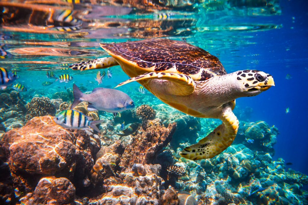 Hawksbill turtle floats above an Indian Ocean coral reef in the Maldives. Nearly half of the live coral cover on reefs has been lost in the past 150 years, and coral reefs are particularly vulnerable to climate change. Credit: Andrey Armyagov/Shutterstock