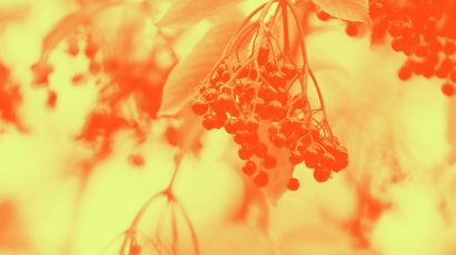 Photo of elderberries