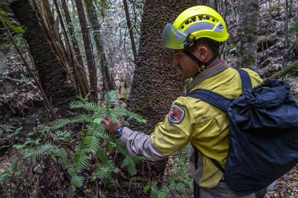 Australian firefighter inspecting rare tree saved from fire