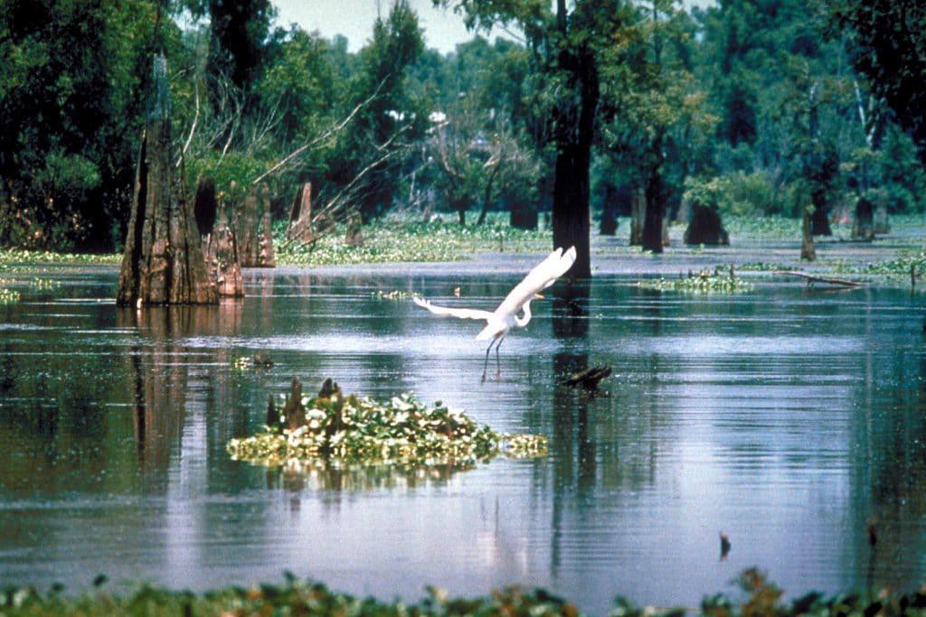 heron taking flight on Mississippi River