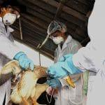 A duck receives a vaccine.