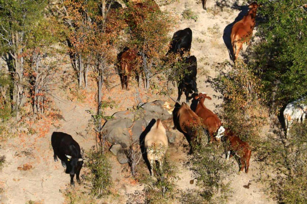 Cows graze near a dead elephant.