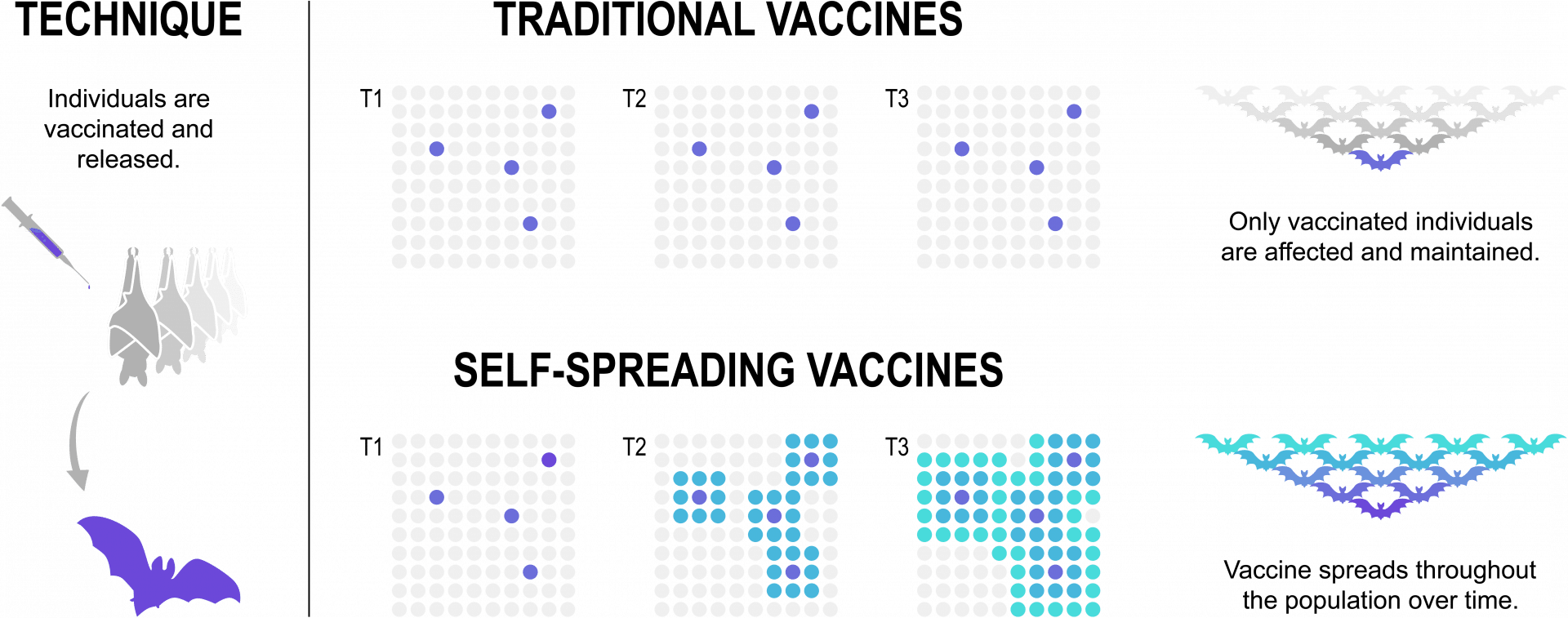 A diagram of how a self-spreading vaccine could work.