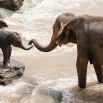 adult elephant and baby touching trunks