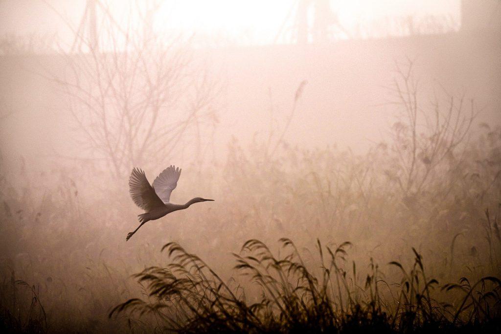 bird in flight at dawn in marsh