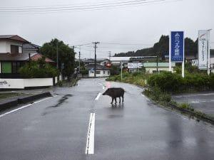 wild boar on streets of Fukushima