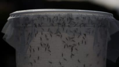 A biologist releases genetically modified mosquitoes in February 2016 in Piracicaba, Brazil. Technicians from the Oxitec laboratory released genetically modified mosquitoes Aedes Egypti to combat Zika virus. (Photo by Victor Moriyama/Getty Images)