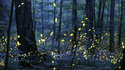 fireflies at night Elkmont North Carolina
