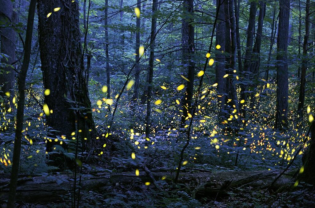 fireflies at night Elkmont North Carolina