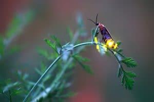 firefly on fern