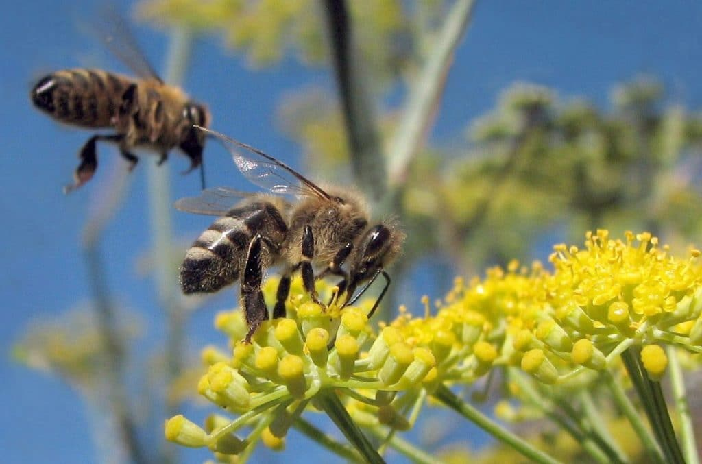 Bees together. Honeybees (Apis melifera) on wild fennel. Credit: Jack Wolf. CC BY-ND 2.0.