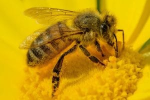 Bee by Nimrod Oren. Pixabay license. Free for commercial use.