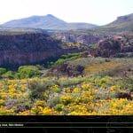 Gila River in bloom