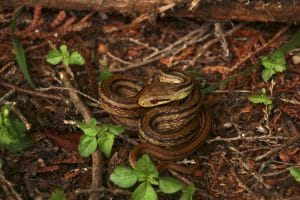 A coiled rat snake. Photo credit: Hannah Gerke. Used with permission.
