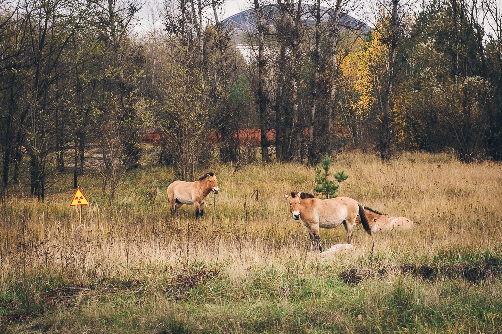 """Since their introduction to the Exclusion Zone in 1998, the population of endangered Przewalski's horses has <a href=""""http://terioshkola.org.ua/library/pts18-2019/pts1812-gaschak-tarpan.pdf"""">multiplied by five</a>. (<a href=""""https://www.flickr.com/photos/cmdrcord/11859258694"""">Michael Kötter</a> / CC-BY-SA)"""