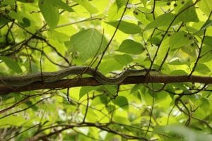 A Japanese rat snake conceals itself in a tree. Photo credit: Hannah Gerke. Used with permission.