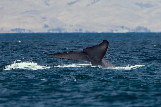 A rare spotting of a blue whale tail fluke. Credit: Mike Baird. Accessed via Wikimedia Commons. CC BY 2.0.